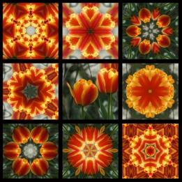 9 Square Orange Tulips Black Narrow Outline 800 x 800