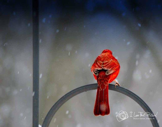 Cardinal on River