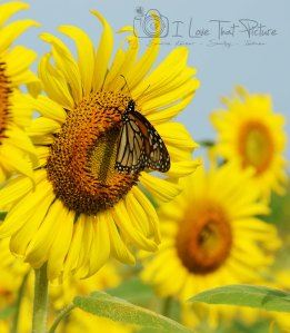 Sunflower Butterfly 2015