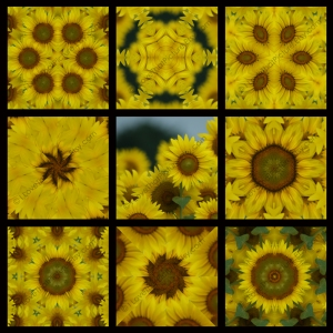 Full 9 Squares Blue Ribbon Winner Sunflower 800 x 800 WM