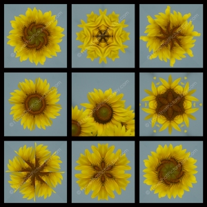 Full 9 Squares Sunflower Matches Blue Ribbon Winner 800 x 800 WM