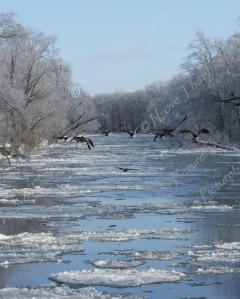 Geese flying down the Kankakee River in Indiana