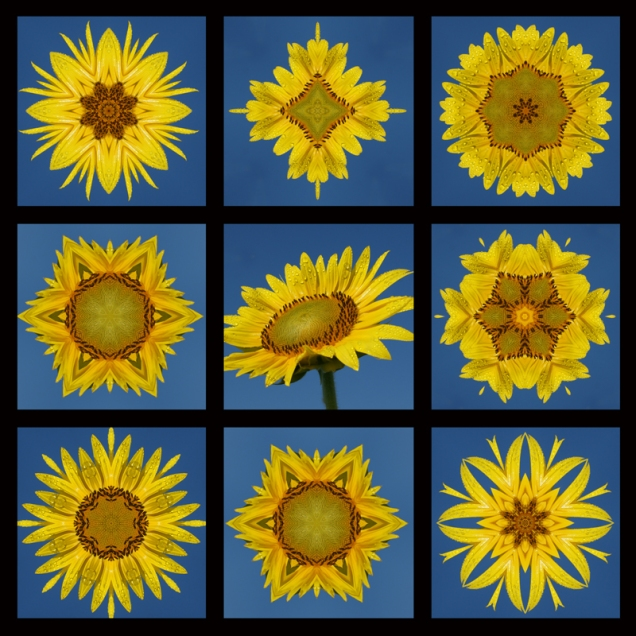 Sunflower 9 frame 2 800x800